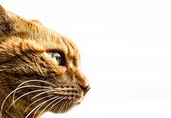 Cat lucky pose (HovdaB) Tags: cat animal pose portrait norway light orange