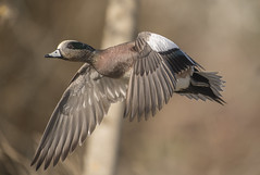 Another wigeon flight (woodwindfarm) Tags: