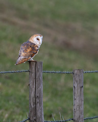 Nice find as I left the reserve. (Rivertay07 - thanks for over 4 million views) Tags: wwt wwtwelney bird rivertay richardstead copyrightprotected barnowl tyto alba