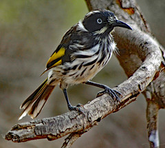 New Holland Honeyeater! (Uhlenhorst) Tags: 2012 australia australien animals tiere birds vögel travel reisen