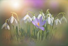Intruder... (KissThePixel) Tags: purple purpleflower white whiteflower whiteflowers flower flowers garden longacremanor macro makro closeup nikon nikond750 sigma 70200mm sigma70200mm flora winterflora winter spring february nature