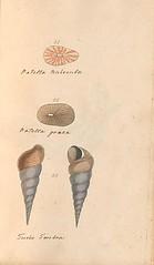 n76_w1150 (BioDivLibrary) Tags: greatbritain mollusks museumsvictoria bhl:page=57640285 dc:identifier=httpsbiodiversitylibraryorgpage57640285 conchologicaldictionary conchology shells britishisles britishislands williamturton british