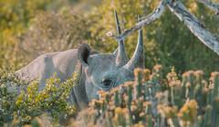 Endangered glimpses... (Coisroux) Tags: dicerosbicornis nikond850 d850 conservation rhinoceros southafricanwildlife thebig5 mammal safari blackrhino