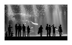 Il n'est pas donné à chacun de prendre un bain de multitude. (Scubaba) Tags: europe france pasdecalais noirblanc noiretblanc bw blackwhite monochrome nausicaa aquarium