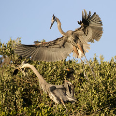 Pair of Great Blue Herons on Nest (dbadair) Tags: outdoor sky nature wildlife 7dm2 ef100400mm canon florida bird nest