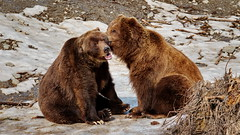 87/365 Telling Secrets (OhWowMan) Tags: 365the2019edition 3652019 day87365 28mar19 ohwowman nikon d3300 acdseepro9 kodiak brown bear bears alaska zoo anchorage springtime hibernation secrets gossip storytime alaskazoo