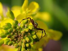 Small spider on rapeseed flowers (Brassica napus, 菜の花) (Greg Peterson in Japan) Tags: クモ shiga wildlife 滋賀県 birds 守山市 bugs 動物 moriyama japan spiders shigaprefecture
