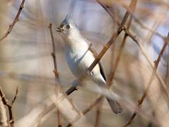 Tufted Titmouse (MarcBphotos) Tags: tufted titmouse bird bushes bokeh oiseau branches animal nature wild