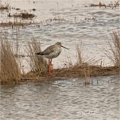 Spotted Redshank (Huddsbirder) Tags: huddsbirder spottedredshank framptonmarsh a6500 sony fe70300mm rspb
