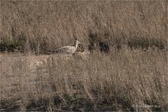 Curlew (Huddsbirder) Tags: huddsbirder a6500 sony fe70300mm titchwell rspb curlew