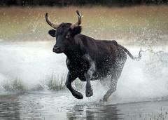Storming Bull (MrBlackSun) Tags: black bull blackbull camargue southfrance nikon d850