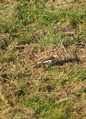 Snow Bunting on the links Whitley Bay 6/1/19 (Mr Clive) Tags: snowbunting bird migrantbird