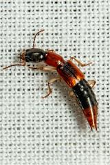 Rove Beetle - Staphylinidae (mattbpics) Tags: beetle coleoptera rovebeetle nature wildlife canon 70d 100 100mm ef100mm f28l macro is usm ef100mmf28lmacroisusm
