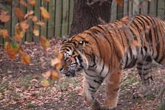 IMG_1487 (Simon M Hendry) Tags: yorkshirewildlifepark zoo england yorkshire wildlifepark animal mammal tiger bigcat amurtiger walking