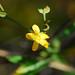 Buttercup (Ranunculus sp.)