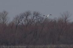 20190209-_E1A3390 (Denver Kramer) Tags: americanwhitepelican animals canon100400mmll canon7dll denverkramerphotography isleduboisunit pilotpoint rayrobertsstatepark texas birds wildlife