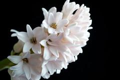 Hyazinthe - Hyacinthe 2 (hermann.kl) Tags: hyazinthe hyacinthe blume blüte pflanze farbe