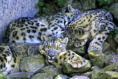 Schneeleopard im Karlsruher Zoo (olds.wolfram) Tags: schneeleopard tier steine junge zoo