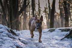 Conan along the way! (hanspeterneuburger) Tags: canoneos200d canon weg way baum tree wald wood dogwalk nature natur bestfriend hund dog bulldogge französischebulldogge frenchbulldog frenchie bully