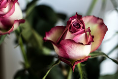 Rose (noe.giovanni) Tags: rose roses flower flowers pink garden beautiful plant flora floral blossom natural closeup beauty