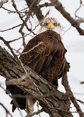 Eagle_Stare (Chris Mahoney - AACStudio) Tags: chilicothe stare tamron bald bird eagle eyes river snow tree winter