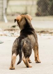 2019-03-02, Mel x Dezi Purple Female-2 (Falon167) Tags: gsd germanshepherddog german shepherd dog puppy mel dezi melxdezi litter bessie puppies