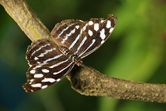 Myscelia cyaniris (josuneetxebarriaesparta) Tags: tximeleta pinpilinpausa mariposa papallona bolboreta papillon farfalla whitenedbluewing mariposabufón animalia animal