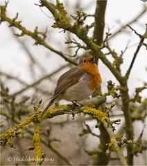 Robin (Huddsbirder) Tags: huddsbirder robin fe70300mm sony a6500 blacktoftsands rspb