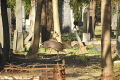 IMG_8309 (Pfluegl) Tags: wien vienna zentralfriedhof graveyard europe eu europa österreich austria chpfluegl chpflügl christian pflügl pfluegl spring frühling simmering reh rehe deer animal tier