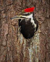 Pileated woodpecker emerging from nest in tree (dwb838) Tags: 8x10 claws tree nest pileatedwoodpecker