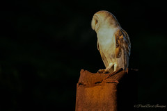Rusty Barny (budgiepaulbird) Tags: barnowls birdsofprey birds eveninglight canon7dmark2 100400mark2 perched