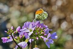Aurorafalter (Anthocharis cardamines) (Hugo von Schreck) Tags: aurorafalter anthochariscardamines hugovonschreck macro makro insect insekt canoneos5dsr butterfly schmetterling tamron28300mmf3563divcpzda010 buzznbugz