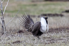 Greater Sage Grouse (Gf220warbler) Tags: idaho grouse sagebrush threatened endangered