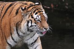 IMG_1500 (Simon M Hendry) Tags: yorkshirewildlifepark zoo england yorkshire wildlifepark animal mammal tiger bigcat amurtiger walking