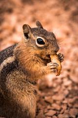 Do you mind if I finish my sandwish? (cedant1) Tags: squirrel animal eating toast brycecanyon macro focus mammal cute look nikon d750 afs24120f4 eye
