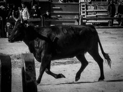 Bull-running, Aigues-Mortes (bobbex) Tags: camargue france southoffrance lesud bull festival french frenchculture blackwhite bw blackandwhite mono
