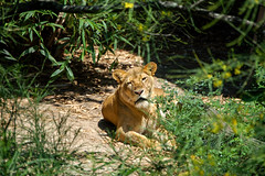 Lion (Rigamer) Tags: lion wildlife cat bigcat animal mammal staring nature habitat travel photography photo