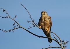 kestrel (farrertracy) Tags: kestrel birdofprey raptor bluesky grey falcon spring tree sunshine