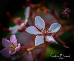 Garden Shots-4169 (Jeffrey Balfus (thx for 4 Million views)) Tags: sonya9mirrorless sonyalpha sonyilce9 fullframe 90mmf28macrogossprimelensmacro sel90m28g flowersplants natureinfocusgroup