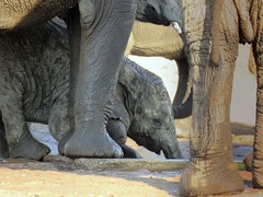 Little one learning to drink water  (elephants / olifante ) (Pixi2011) Tags: elephants krugernationalpark southafrica africa nature wildlife big5 animals