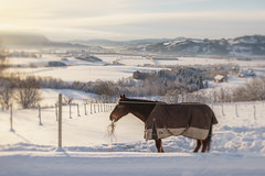 Munching on hay (Helena Normark) Tags: horse beautifullight winter snow skjefstad skjefstadbakkan leinstrandmarka trondheim sørtrøndelag trøndelag norway norge sonyalpha7ii a7ii 35mm lensbaby burnside35 lensbabyburnside35 lensbabylove seeinanewway