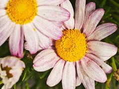 _1100833-Daisy (Blade Dancer Imagery) Tags: macro floweringplant flower plant vulnerability fragility petal beautyinnature growth freshness flowerhead closeup inflorescence nature day nopeople focusonforeground botany pollen