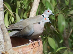 African Mourning Dove (cawthraw) Tags: african mourning dove farakunkulodge tujereng gambia streptopeliadecipiens
