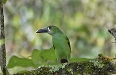 Jardín Botánico Universidad de Caldas (jhonfredyravesalazar) Tags: birds udec nikon sigma pajareo avistamiento caldas manizales colombia