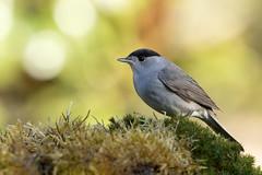 warbler (fauvette) (denisaguilar1) Tags: warbler fauvette faune birds oiseaux sauvage passereau forêt