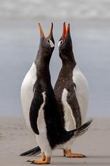 🎶Only Yooooo 🎶 (Linda Martin Photography) Tags: gentoopenguin saundersisland southatlanticocean pygoscelispapua falklandislands bird nature wildlife coth naturethroughthelens coth5 ngc npc