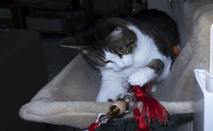Ellen and the Japanese tassel (Alfredo Liverani) Tags: canong5x canon g5x pointandshoot point shoot ps flickrdigital flickr digital camera cameras europa europe italia italy italien italie emiliaromagna romagna faenza faventia faience animal kitten gatto gatta gatti gatte cat cats chats chat katze katzen gato gatos pet pets tabby furry kitty moggy moggies gattino animale ininterni animaledomestico aliceellen alice ellen for a hrefhttpswwwflickrcomgroups2915279n20 targetblankhappy caturdaya theme giftstreats 3622018 project365362 project36512282018 project36528dec18 oneaday photoaday pictureaday project365 project project2018 2018pad