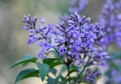A fresh start (KsCattails) Tags: flower kscattails lilac macro neighborhood yard kathrynkennedy