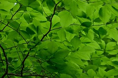 2018 05 14 015 walk in the woods, Gassaway, WV (Mark Baker.) Tags: 2018 america baker mark may north us usa virginia wv west day leaves outdoor photo photograph picsmark rural spring united