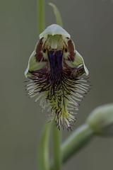 Calochilus campestris - closeup (ab_orchid) Tags: native orchid species australia spider